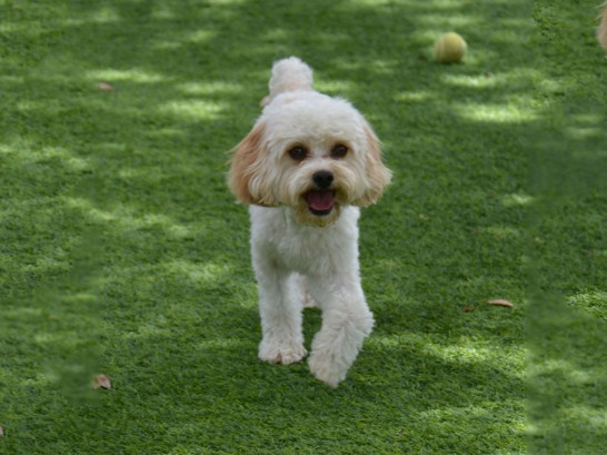 Artificial Grass Photos: Fake Turf Glendora, California, Dogs Runs